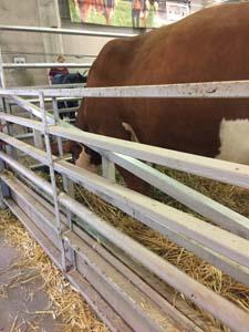 ca-state-fair-animals-cows-072018 (6)