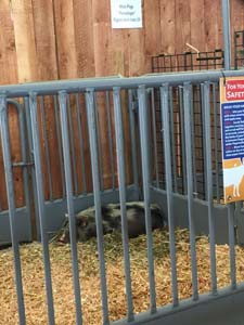 ca-state-fair-animals-mini-pigs-072018 (2)